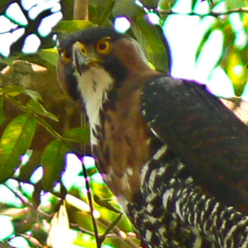 Ornate Hawk Eagle